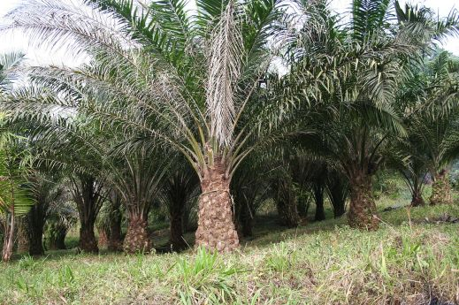 Elaeis guineensis in palm oil plantation. Image taken from http://en.wikipedia.org/wiki/Elaeis_guineensis