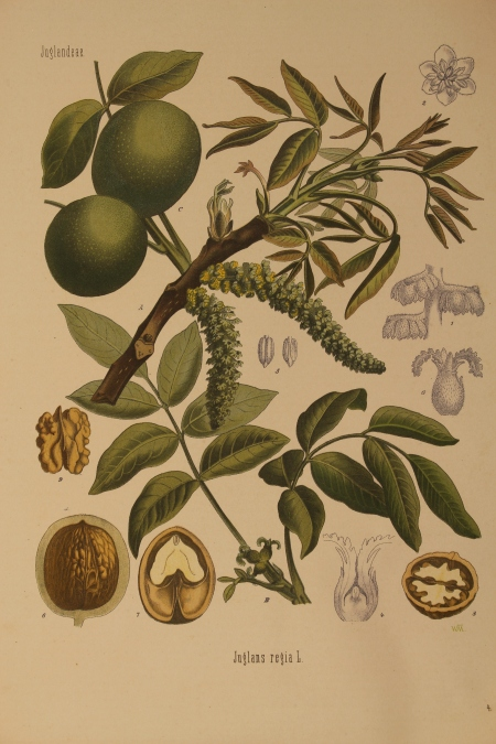 Walnut botanical print from Kohler's Medizinal Pflanzen